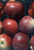 poza Meri soiul 'Florina' la ghivece. Pomi fructiferi puieti altoiti.
