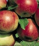 poza Meri soiul Idared in ghiveci. Pomi fructiferi puieti altoiti.