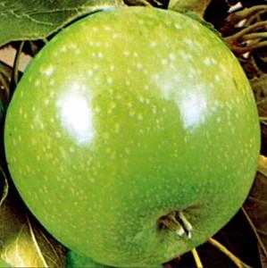 poza Meri soiul 'Granny Smith' cu ghiveci. Puieti pomi fructiferi altoiti.
