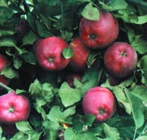 poza Meri soiul 'Starkrimson' cu ghivece. Puieti pomi fructiferi altoiti.