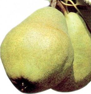 poza Peri soiul `Williams` alb. Puieti fructiferi altoiti, cu radacina ambalata.
