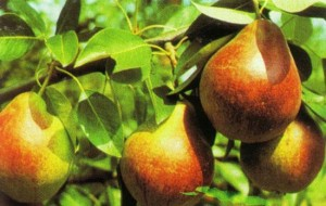poza Peri soiul `Favorita lui Clapp`. Pomi puieti fructiferi altoiti, cu radacina ambalata.