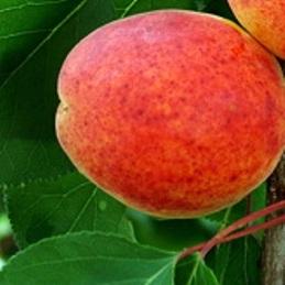 poza Pomi fructiferi Caisi soiul 'Bergeron'. Pomi puieti fructiferi altoiti, radacina ambalata.