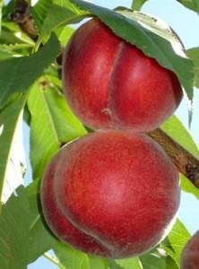 poza Piersic soiul Sprincrest. Pomi puieti fructiferi altoiti.