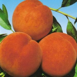 poza Piersic soiul 'Suncrest'. Puieti fructiferi pomi altoiti, cu radacina ambalata.