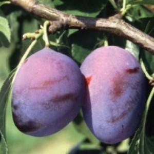 poza Pomi fructiferi Pruni soiul 'Centenar'.Puieti fructiferi altoiti cu radacina ambalata.