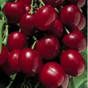 poza Pomi fructiferi Ciresi soiul`Bigarreau Burlat' 1/2 F , la ghiveci de 15l  . Puieti fructiferi ramificati, coroana formata, pe rod