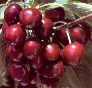poza Pomi fructiferi Ciresi soiul Germersdorf la ghiveci Puieti fructiferi altoiti
