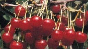 poza Pomi fructiferi Visini soiul `Productiva de Debretin`. Puieti fructiferi altoiti, cu radacina ambalata.