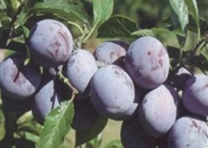poza Pomi fructiferi Pruni soiul Anna Spath in ghiveciPuieti fructiferi altoiti