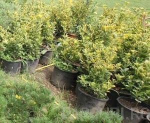 poza Arbust frunze persistente EUONYMUS JAPONICUS ELEGANTISSIMUS AUREUS ghiveci 3-4 litri, h= 30-40 cm pt garduri vii
