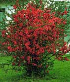 poza Arbusti cu flori CHAENOMELES /Gutui japonez h=40-60 cm ghiveci 5 litri pt garduri vii