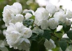 poza Arbusti parfumati PHILADELPHUS CORONARIUS VIRGINAL /Iasomie flori duble h= 80-100 cm ghiveci 5-7 litri pt gard viu