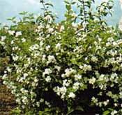 poza Arbusti parfumati PHILADELPHUS CORONARIUS (iasomie) h=60-80 cm ghiveci 3-4 litri pt garduri vii