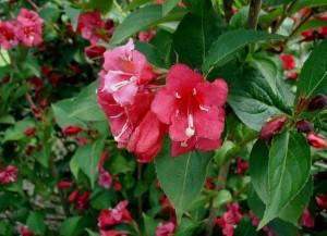 poza Arbusti cu flori WEIGELA ghiveci 3-4 litri, h=40-60 cm pentru garduri vii