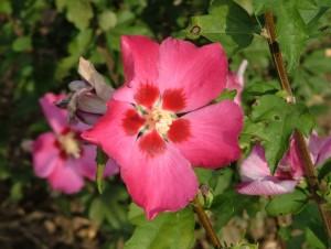 poza Arbusti de gard viu HIBISCUS SYRIACUS cu flori simple, ghiveci 5 litri, h=40-60 cm