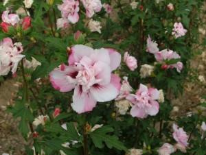 poza Arbusti pentru garduri vii HIBISCUS SYRIACUS cu flori duble, ghiveci 3-4 litri, h=30-40cm