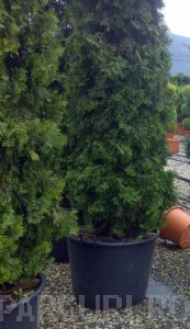 poza Arbusti rasinosi THUJA OCCCOLUMNA  h=125-150 cm, pt gard viu