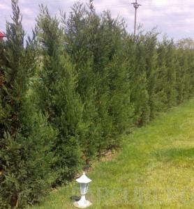 poza Arbori rasinosi CUPRESSOCYPARIS LEYLANDII ghiveci 18 litri, h=125-150 cm pt garduri vii inalte