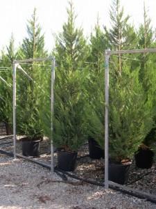 poza Arbori rasinosi CUPRESSOCYPARIS LEYLANDII ghiveci 30 litri, h=200-250 cm pt garduri vii inalte