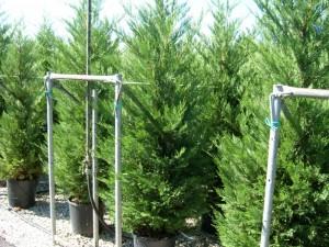 poza Arbori rasinosi CUPRESSOCYPARIS LEYLANDII ghiveci 35-50 litri, h=250-300 cm pt garduri vii inalte