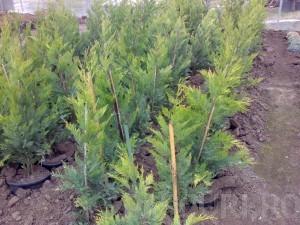 poza Arbori rasinosi CUPRESOCYPARIS LEYLANDII GOLD RIDER ghiveci 3-4 litri, h=60-80cm pt garduri vii