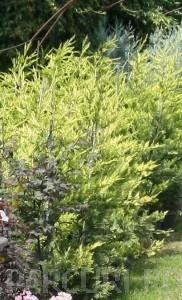 poza Arbori rasinosi CUPRESOCYPARIS LEYLANDIIGOLD RIDERghiveci 18 litri, h=125-150 cm pt gard viu
