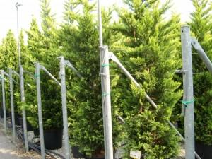 poza Arbori rasinosi CUPRESOCYPARIS LEYLANDII GOLD RIDER ghiveci 35-50litri, h=200-250 cm pt gard viu