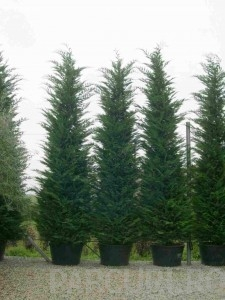 poza Arbori rasinosi CUPRESSOCYPARIS LEYLANDII PYRAMIDALISghiveci 230 litri, h=550-600 de gard viu