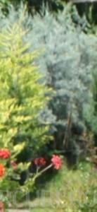 poza Arbori rasinosi CUPRESSUS ARIZONICA FASTIGIATAghiveci 7 litri, h=100-125cm pt garduri vii