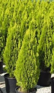 Poza Arbusti rasinosi Thuja orientalis Pyramidalis Aurea
