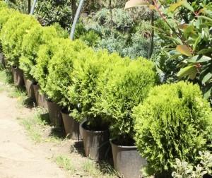 poza Arbusti rasinosi THUJA ORIENTALIS AUREA NANA ghiveci 12 litri, 30-40cm diam, pt gard viu