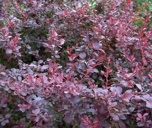 poza Arbusti cu frunze rosii pentru garduri vii BERBERIS la ghiveci 5-7 litri, h=80cm.