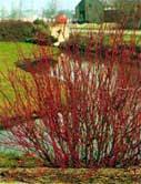 poza Arbusti de gard viu CORNUS ALBA SIBIRICA la ghiveci 5 litri , h=80-100 cm