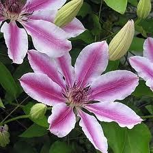 poza Plante agatatoare Clematis Nelly Moser  ghiveci 3  litri, h= 80-100 cm