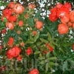 poza Trandafiri agatatori urcatori cu radacina in ghivece
