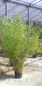 poza Bambus Phyllostachys Bissetii pentru garduri vii, h=1.75-2 m, ghiveci 18 litri