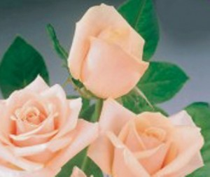 poza Trandafiri parfumati pt gradina Vivaldi, planta formata cu radacini in ghivece de 3 litri
