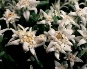 poza Flori de gradina perene FLOARE DE COLT / LEONTOPODIUM ALPINUM MON BLANC
