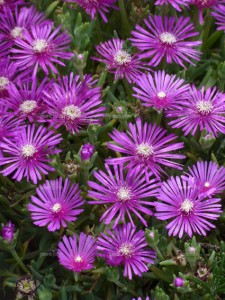 Poza Flori de gradina perene DELOSPERMA COOPERI