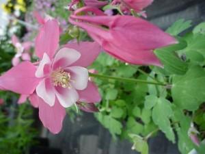 poza Flori de gradina perene CALDARUSA/AQUILEGIA VULGARIS SPRING MAGIC
