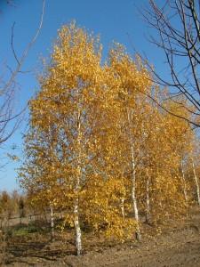 Poza Arbori foiosi Mesteacan `Betula pendula`