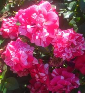 poza Trandafiri englezesti de gradina  semiurcatori  Twist  cu radacina in ghiveci de 3,5 litri
