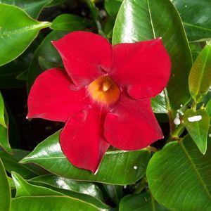 poza IASOMIE BRAZILIANA / DIPLADENIA , MANDEVILLA ROSIE ghiv 12cm  h=30-35cm