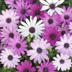 poza Flori de balcon OSTEOSPERMUM