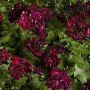 Poza Pelargonium Peltatum TOMMY