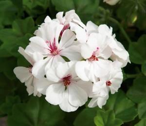 poza Plante de balcon muscate curgatoare cu floare dubla (Pelargonium peltatum alb Royal Ice)
