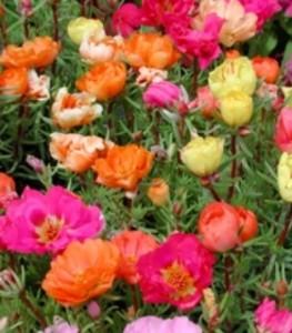poza Flori de gradina anuale PORTULACA GRANDIFLORA - FLOARE DE PIATRA . Flori de gradina anuale in ghiveci de 9 cm.
