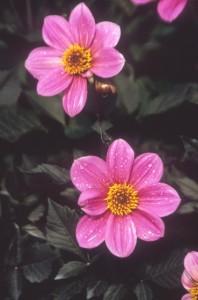 poza Flori de gradina anuale DALIA X HYBRIDA/ Dalia. Flori la ghiveci de 10 cm.