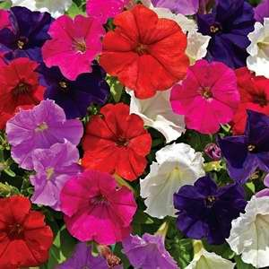 poza PETUNIA MILLIFLORA PICOBELA MIX/ Petunia de gradina. Flori de gradina anuale in ghiveci de 9 cm.
